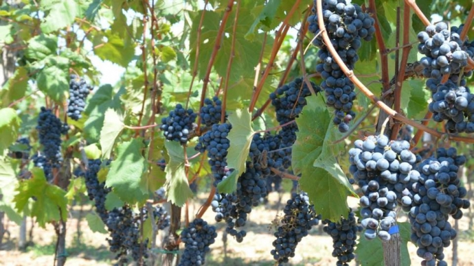 The Indigenous Grapes of Croatia: Teran
