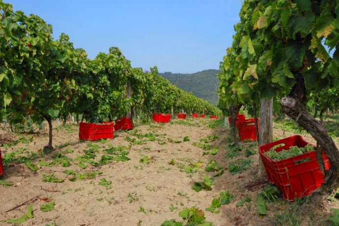 A Wine Road for the Grey Istria