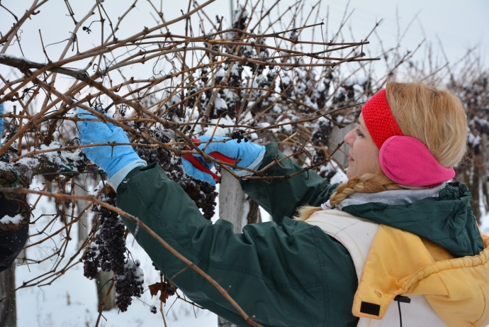 Ice Harvest - Superior Challenge or a Masochistic Game With Surplus Grapes?